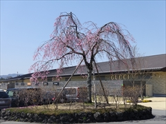軽井沢 アウトレット センターモール桜6分咲き