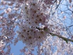 軽井沢 アウトレット 左真の桜のアップ