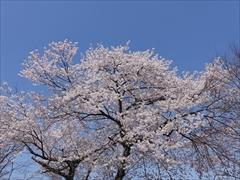 軽井沢 アウトレット ニューウエスト桜満開
