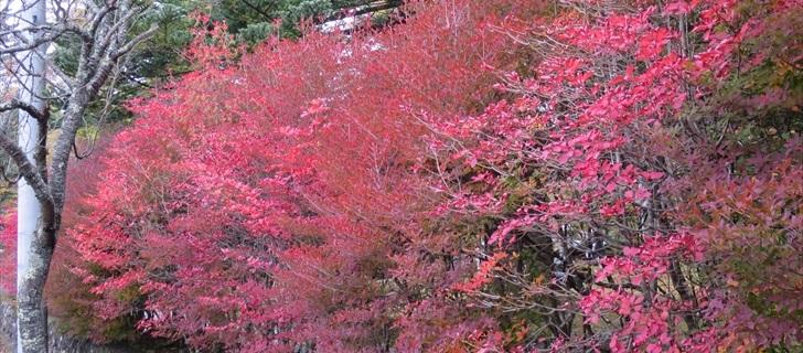 諏訪の森公園のドウダンツツジ(灯台躑躅)の紅葉が見頃です