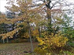 諏訪の森公園 黄葉