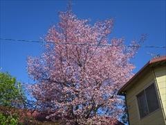 JR長野鉄道サービス 桜