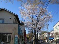 軽井沢本通り 桜