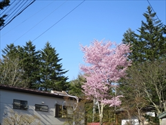 軽井沢本通り横道 桜