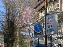 聖パウロカトリック教会付近 桜