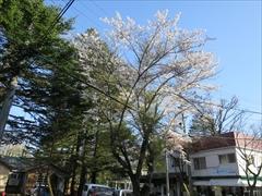 テニスコート付近 桜