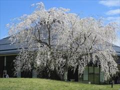 大賀ホールの枝垂れ桜が満開
