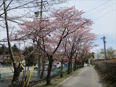 大賀ホール側道 桜並木
