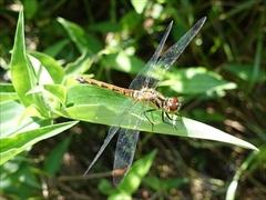 蜻蛉 ノシメトンボ