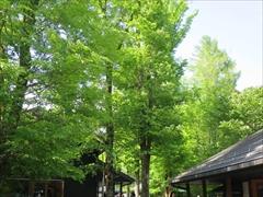 ハルニレの樹々