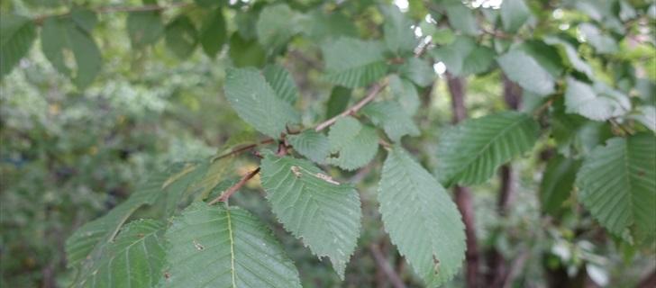 ハルニレの葉
