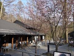 ハルニレテラス 桜