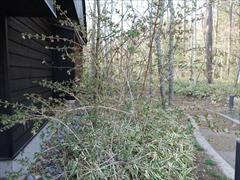 ミヤマウグイスカグラの木