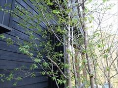 ツリバナの木