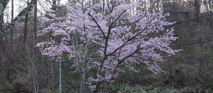 軽井沢 ハルニレテラスの入口の桜が満開です 2018年4月22日