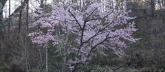 軽井沢 ハルニレテラス 桜