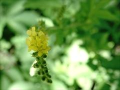 キンミズヒキ(金水引)