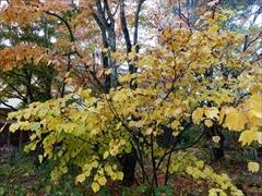軽井沢 ダンコウバイ 黄葉