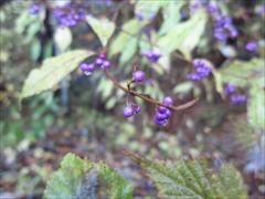 軽井沢 小紫(コムラサキ)の実