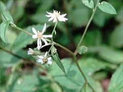 シラヤマギク(白山菊)