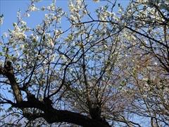 万平ホテル 山桜(白色)