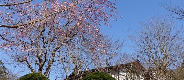 軽井沢 万平ホテル 枝垂れ桜 満開 2018年4月21日