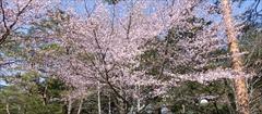 軽井沢 恵みシャレー 桜