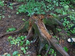 ツキノワグマが蟻の巣を掘る