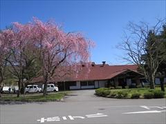 レストランこぶし 桜 満開