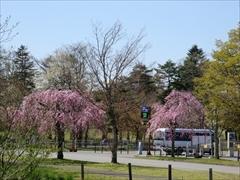 プリンスホテル 駐車場付近 桜