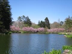 プリンスホテル 池の周りの桜