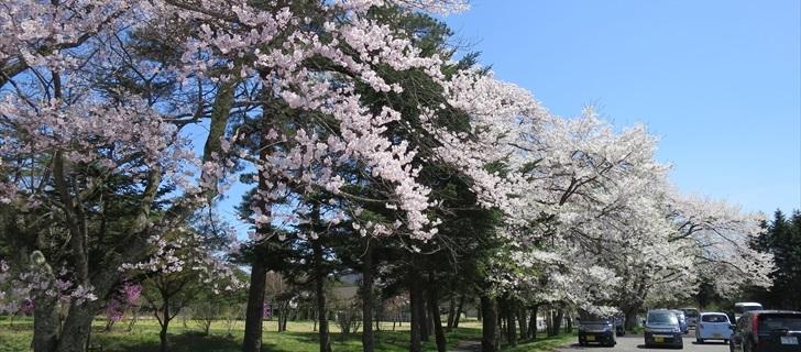 軽井沢 プリンスホテルウエスト テニスコートの横の桜並木が満開