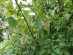 ウリカエデの木