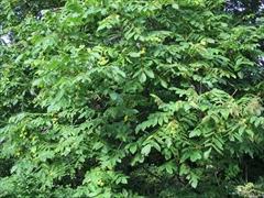 オニグルミの葉