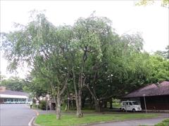 レストラン横の枝垂れ桜の木