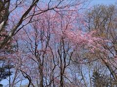 軽井沢 プリンスホテルウエスト 入口の枝垂れ桜 満開