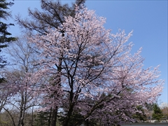 軽井沢 プリンスホテルウエスト 駐車場付近 桜 満開