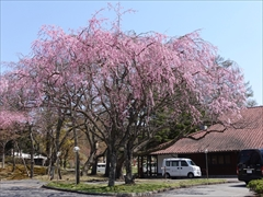 軽井沢 プリンスホテルウエスト レストランこぶし 桜 満開