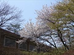 軽井沢 プリンスホテルウエスト 正面入口 桜 満開