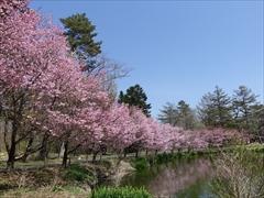 軽井沢 プリンスホテルウエスト 池の周りの桜を右側から