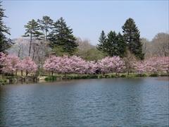 軽井沢 プリンスホテルウエスト 池の周りの桜を正面から