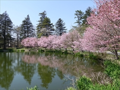 軽井沢 プリンスホテルウエスト 池の周りの桜を左側から
