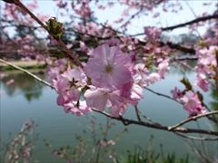 軽井沢 プリンスホテルウエスト 池の周りの桜 満開