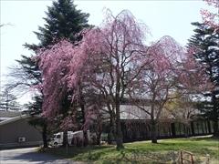 軽井沢 プリンスホテルウエスト 池の近くの枝垂れ桜 満開