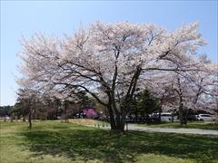 軽井沢 プリンスホテルウエスト テニスコート付近 桜 満開