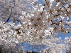 軽井沢 プリンスホテルウエスト 満開の桜のアップ