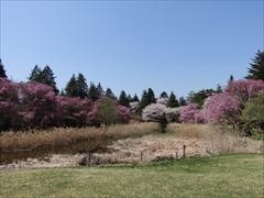 軽井沢 プリンスホテルウエスト コテージと満開の桜