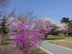 軽井沢 プリンスホテルウエスト ミツバツツジ 満開