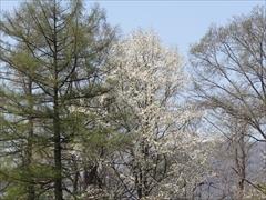 軽井沢 プリンスホテルウエスト コブシの花