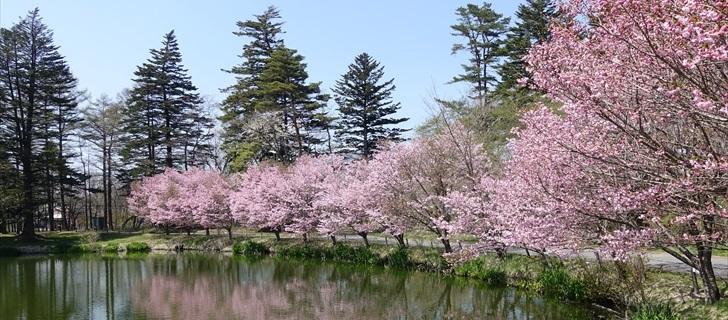 軽井沢 プリンスホテルウエスト 池の周りの桜並木が満開 2018年4月21日